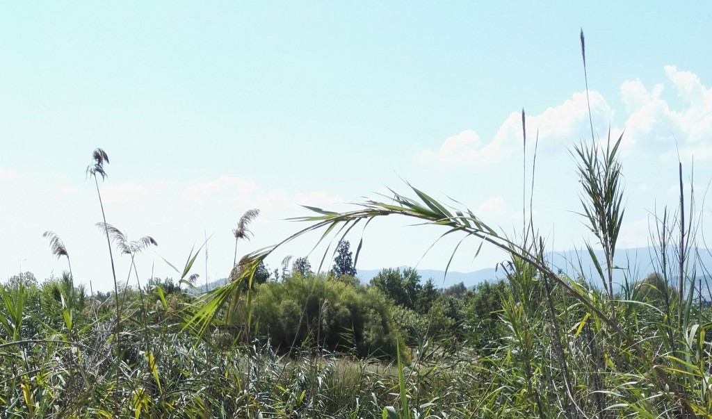 Phragmites-and-Arundo-in-Athens-on-23-June